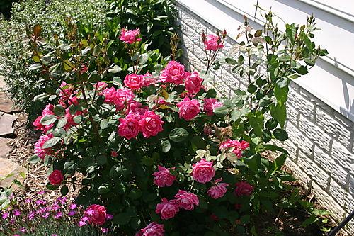 Garden Pictures 2008 016