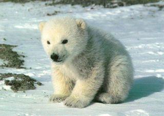 Cute_polar_bear