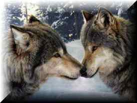 Two_wolves_4